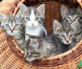 Baskets of Kittens