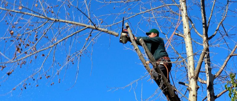 A worker with a chainsaw pruning a tree.